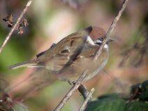 Tree Sparrow (Beddington SF 07-02-05)
