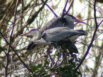 Herons MHP