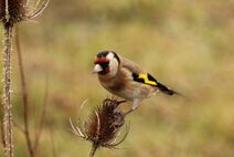 Leaches Fields 23.11.19 074 cc Goldfinch