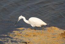 Frinton 30.3.19 300 Little Egret