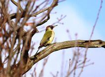 Leach 23.12.19 026 cc Green Woodpecker