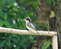 Cuba 2019 1656 Loggerhead Kingbird