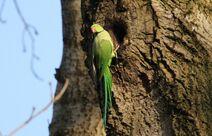 Leach Gobians 21.12.19 082 cc Ring necked Parakeet