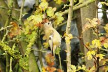 Rye Meads 22.11.19 156 cc Goldcrest