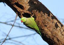 Leach Gobians 21.12.19 100 cc Parakeet