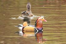 Kew 1.11.19 026 cc Mandarin Duck