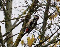 Leaches Fields 23.11.19 170 cc Gt Spotted Woodpecker