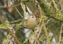 Rye Meads 22.11.19 153 cc Goldcrest