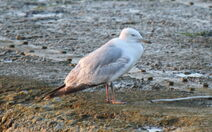 IMG 2253 possible Caspian Gull