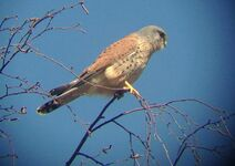 Wimbledon Common Kestrel 25.iii.2020 web