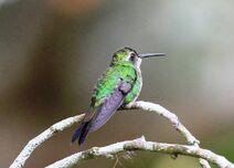 Cuba 2019 1919 copy Cuban Emerald Humming Bird