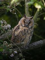 Long-Eared Owl WTCP 05-07-07 POST BREEDING ADULT