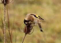 Leaches Fields 23.11.19 072 cc Goldfinch