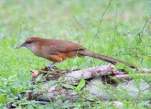 Cuba 2019 1989 Great Lizard Cuckoo copy