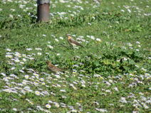 Wheatear - Meadow Pipit