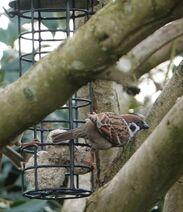 Tree sparrow 5