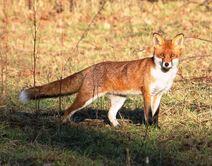 Leach 30.12.19 120 cc Fox