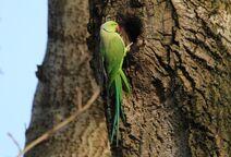 Leach Gobians 21.12.19 074 cc Parakeet
