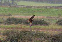 Frinton 7.12.19 404 cc marsh harrier female