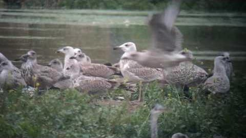 Juvenile Caspian gull at Beddington