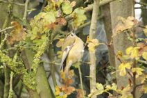 Rye Meads 22.11.19 157 cc Goldcrest