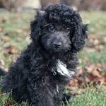Black ausiedoodle puppy!