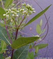 Dogbane flowers6