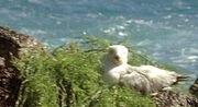 3x12-seagull-on-nest