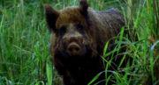180px-1X16 Boar