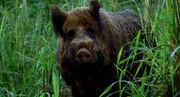 1X16 Boar