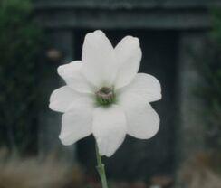Simbelmyne Blüte