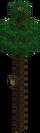 Shire Pine