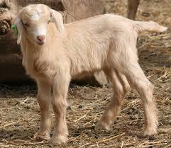 Kiko Goats | Lots-o-Goats Wiki | FANDOM powered by Wikia