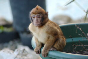 Young Barbary Ape sitting on Plant Pot