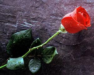 Love Rose Wallpaper-3