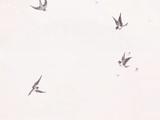 Singing Magpie