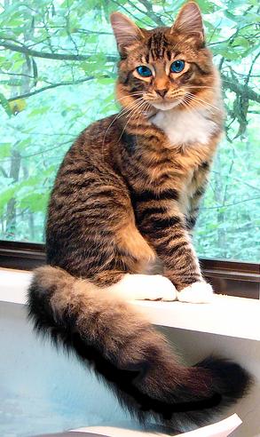 Kuvahaun tulos haulle long furred brown tabby cat blue eyes