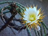 Царица ночи (растение)