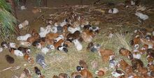 1280px-Guinea pig stable