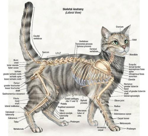 A macska testfelepitese