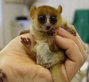 Goodman mouse lemur