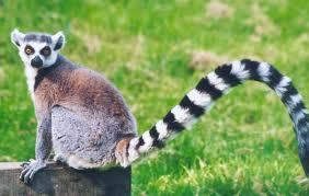 File:Ring tail lemur.jpg