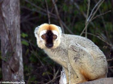 Red-fronted brown lemur 54