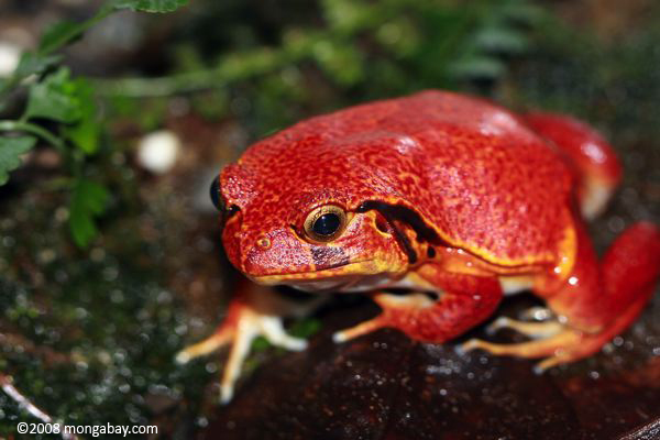 File:Tomato Frog.jpg