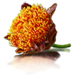 Standard 75x75 collect paintbrush lily
