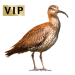 Item whimbrel 01