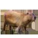 Item capybara 01