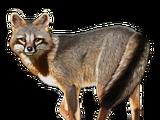 Brazilian Fox