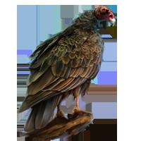 Huge item turkeybuzzard 01