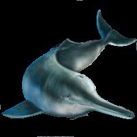 delfin-rio-chino